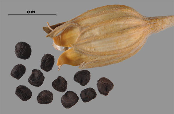 Photo - Purple cockle (Agrostemma githago) seeds and capsule