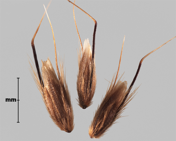 Photo - Annual vernal grass (Anthoxanthum aristatum) floret groups