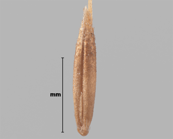 Photo - Interrupted bent-grass (Apera interrupta) seed (showing inner side)