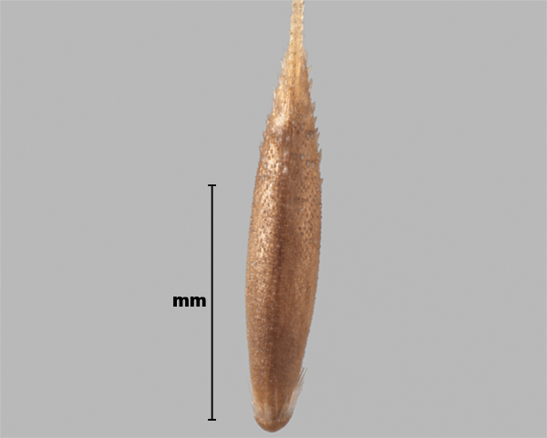 Photo - Interrupted bent-grass (Apera interrupta) seed (showing outer side)