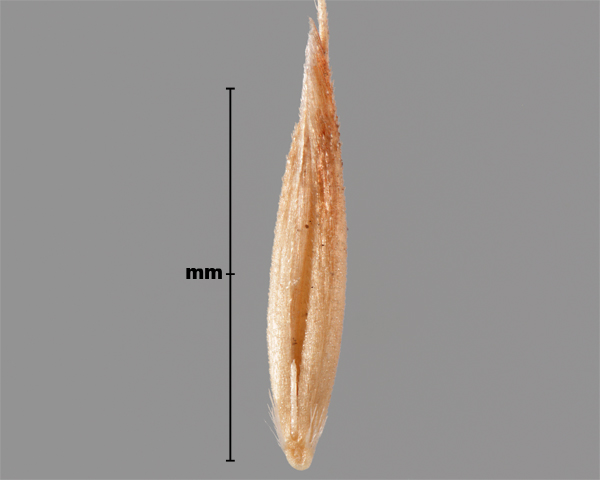 Photo - Silky bent-grass (Apera spica-venti) seed (showing inner side)