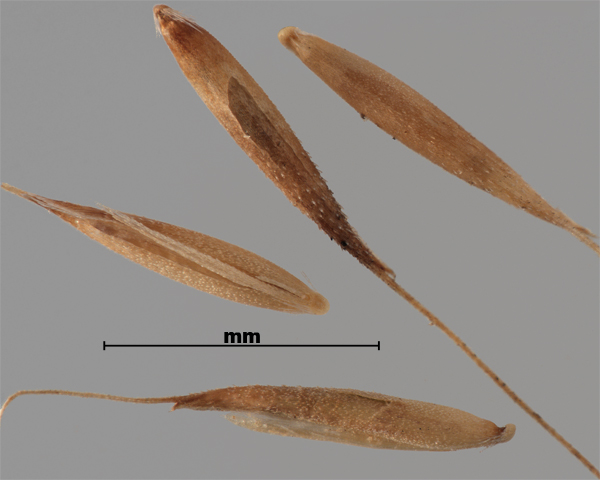 Photo - Silky bent-grass (Apera spica-venti) seeds