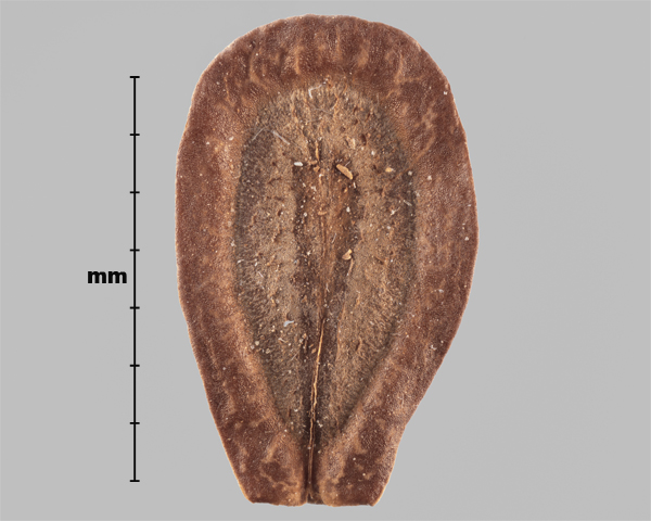 Photo - Similar species: Showy milkweed (Asclepias speciosa) seed (inner side)