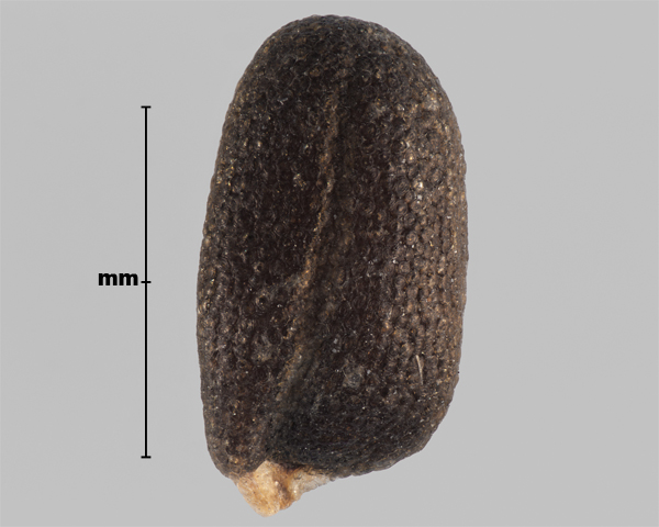 Photo - Hare's-ear mustard (Conringia orientalis) seed (showing outline of seed root)
