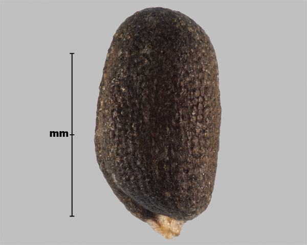 Photo - Hare's-ear mustard (Conringia orientalis) seed (showing outline of seed leaves)