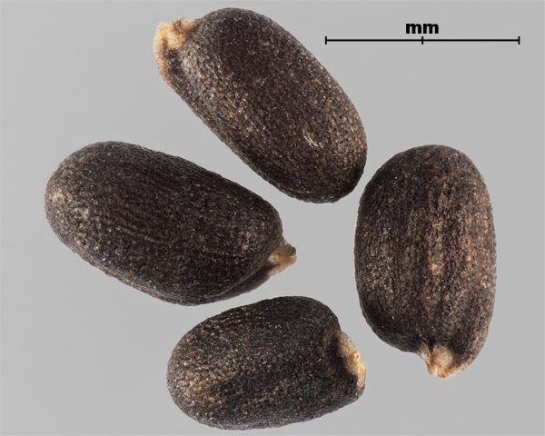 Photo - Hare's-ear mustard (Conringia orientalis) seeds