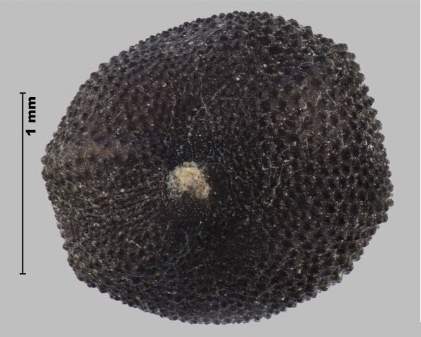 Photo - Cow cockle (Vaccaria hispanica) seed (in edge view, showing hilum)