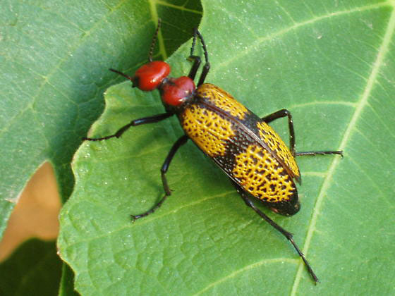 « Iron Cross Blister Beetle »