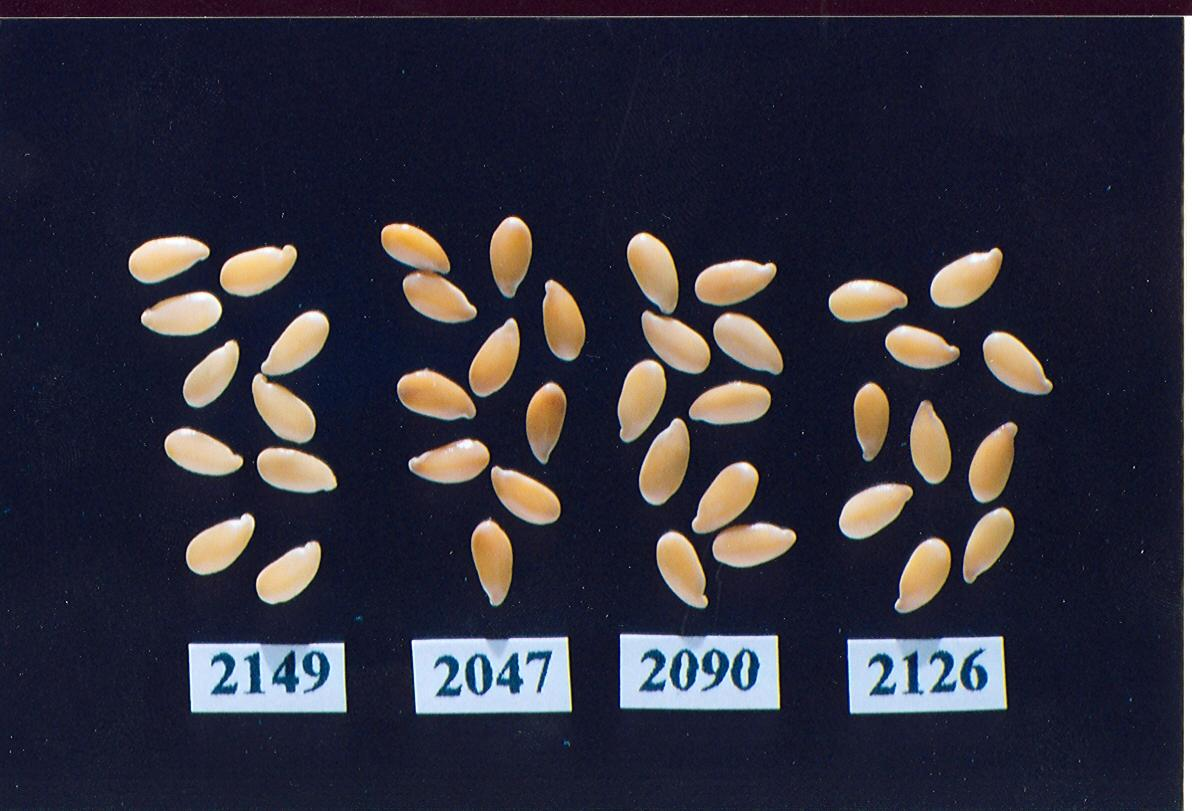 Flax: '2149' (left) with reference varieties '2047' (center left), '2090'  (center right) and '2126' (right)
