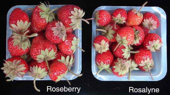 Strawberry Variety Comparison