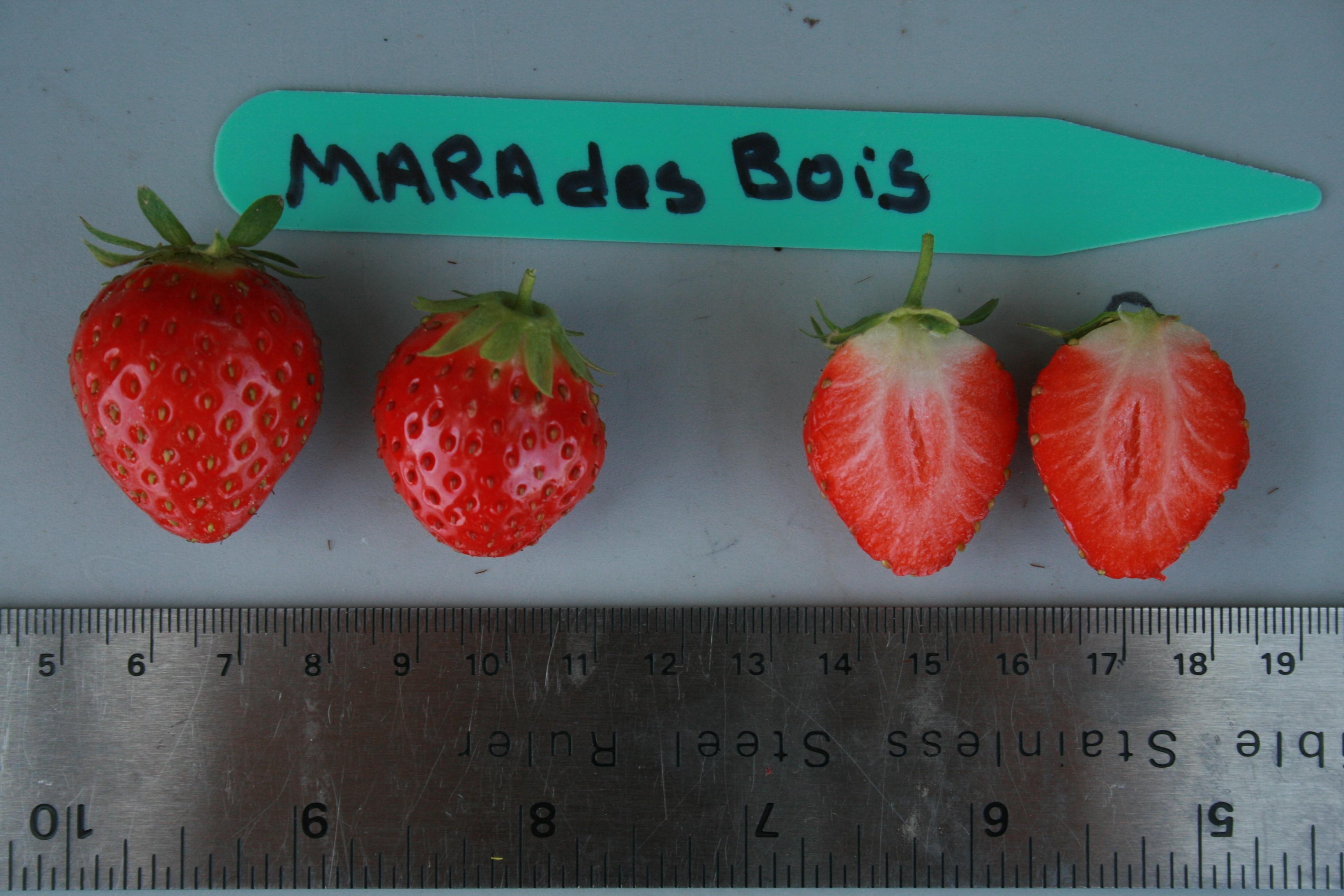 Strawberry Reference variety, Mara des Bois ~ Mara Des Bois Culture