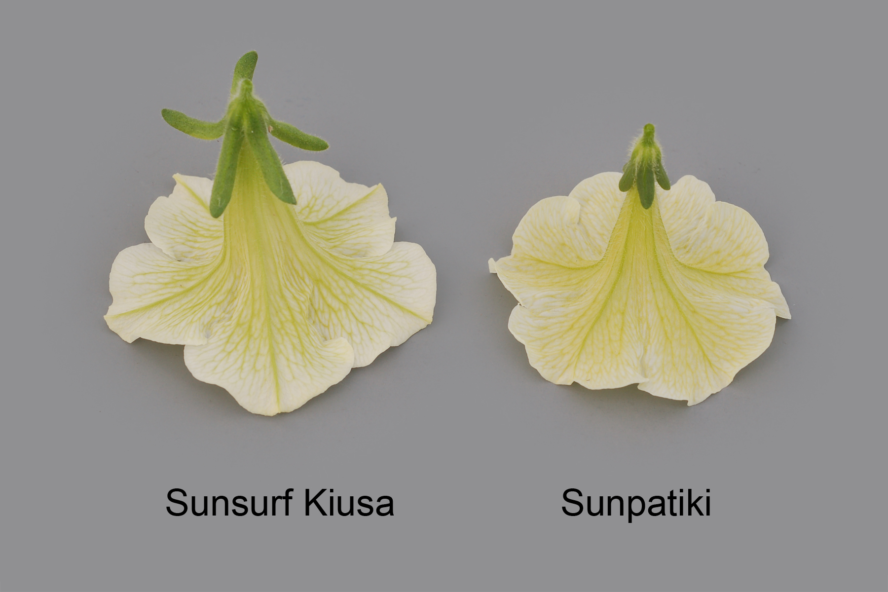 Sunsurf Kiusa