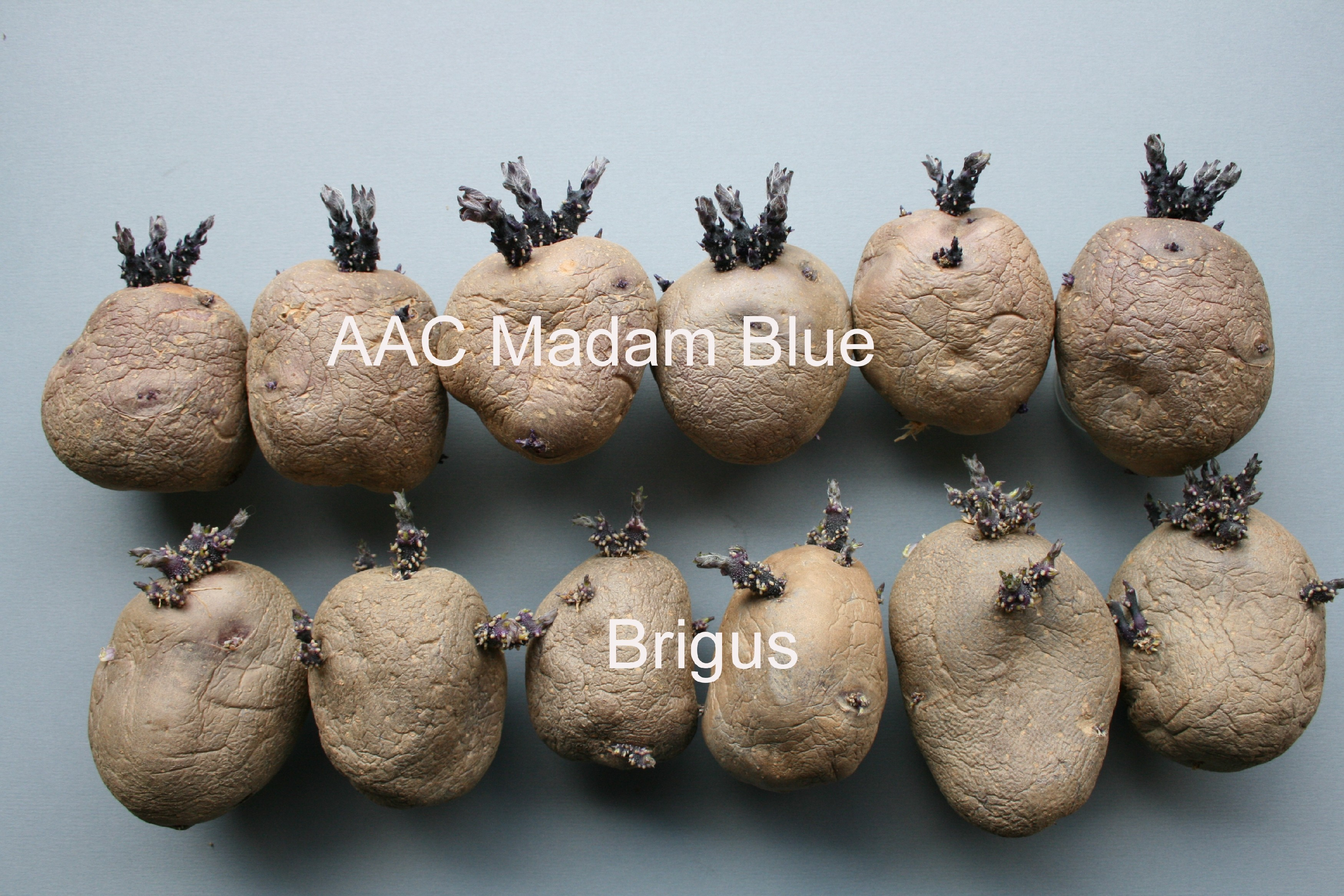 AAC Madam Blue